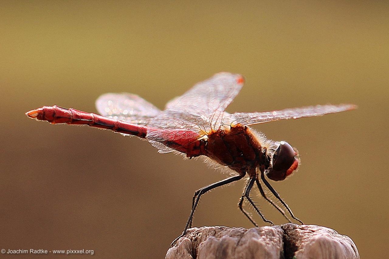 diese Libelle wurde in Russland abgelichtet.