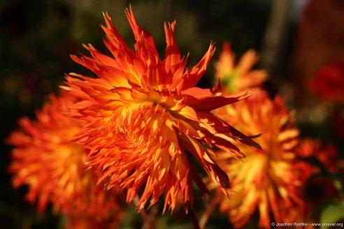 Dahlienfeuer im Britzer Garten